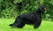 Шотландский сеттер описание породы, фото, характеристика, клички для собак, цена щенков, гипоаллергенный: нет