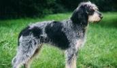 Голубой гасконский гриффон описание породы, фото, характеристика, клички для собак, цена щенков, гипоаллергенный: нет