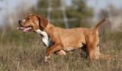 Португальский бракк (пойнтер) описание породы, фото, характеристика, клички для собак, цена щенков, гипоаллергенный: нет