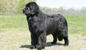 Ньюфаундленд описание породы, фото, характеристика, клички для собак, цена щенков, гипоаллергенный: нет