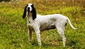 Арьежская гончая описание породы, фото, характеристика, клички для собак, цена щенков, гипоаллергенный: нет