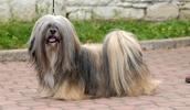 Лхаса Апсо описание породы, фото, характеристика, клички для собак, цена щенков, гипоаллергенный: нет