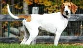 Американский фоксхаунд описание породы, фото, характеристика, клички для собак, цена щенков, гипоаллергенный: нет