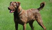 Чесапик бэй ретривер описание породы, фото, характеристика, клички для собак, цена щенков, гипоаллергенный: нет