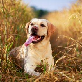 Лабрадор ретривер описание породы, фото, характеристика, клички для собак, цена щенков, гипоаллергенный: нет