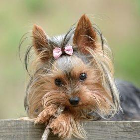 Йоркширский терьер описание породы, фото, характеристика, клички для собак, цена щенков, гипоаллергенный: да