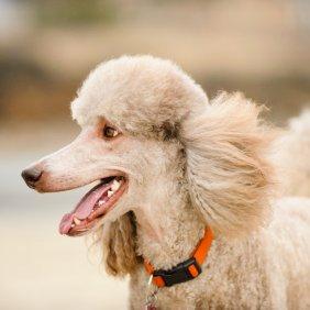 Пудель описание породы, фото, характеристика, клички для собак, цена щенков, гипоаллергенный: да