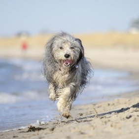 Бородатый колли описание породы, фото, характеристика, клички для собак, цена щенков, гипоаллергенный: нет