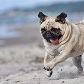 Мопс описание породы, фото, характеристика, клички для собак, цена щенков, гипоаллергенный: нет