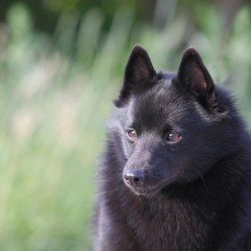 Шипперке описание породы, фото, характеристика, клички для собак, цена щенков, гипоаллергенный: нет