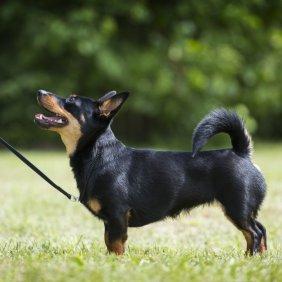 Ланкаширский хилер описание породы, фото, характеристика, клички для собак, цена щенков, гипоаллергенный: нет