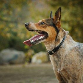 Австралийская короткохвостая пастушья собака описание породы, фото, характеристика, клички для собак, цена щенков, гипоаллергенный: нет