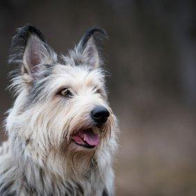Пикардийская овчарка описание породы, фото, характеристика, клички для собак, цена щенков, гипоаллергенный: нет