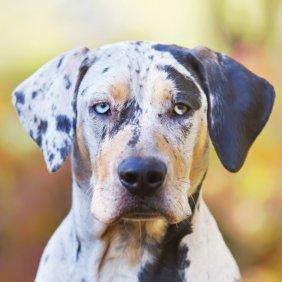 Леопардовая собака Катахулы описание породы, фото, характеристика, клички для собак, цена щенков, гипоаллергенный: нет
