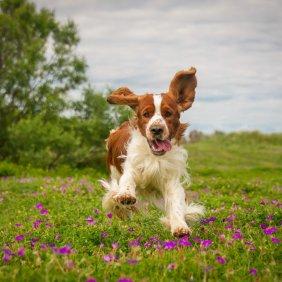 Вельш спрингер спаниель описание породы, фото, характеристика, клички для собак, цена щенков, гипоаллергенный: нет