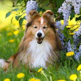 Шелти описание породы, фото, характеристика, клички для собак, цена щенков, гипоаллергенный: нет