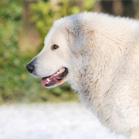 Кувас описание породы, фото, характеристика, клички для собак, цена щенков, гипоаллергенный: нет