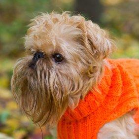 Брюссельский гриффон описание породы, фото, характеристика, клички для собак, цена щенков, гипоаллергенный: да