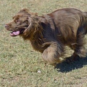 Суссекс-спаниель описание породы, фото, характеристика, клички для собак, цена щенков, гипоаллергенный: нет
