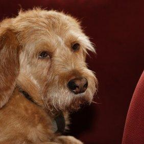 Рыжий Бретонский Бассет описание породы, фото, характеристика, клички для собак, цена щенков, гипоаллергенный: нет