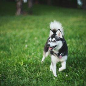 Аляскинский кли-кай описание породы, фото, характеристика, клички для собак, цена щенков, гипоаллергенный: нет