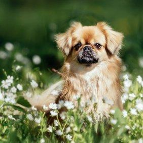 Тибетский спаниель описание породы, фото, характеристика, клички для собак, цена щенков, гипоаллергенный: нет