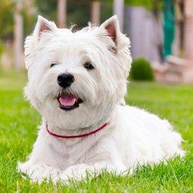 Вест-хайленд-уайт-терьер описание породы, фото, характеристика, клички для собак, цена щенков, гипоаллергенный: да