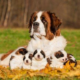 Сенбернар описание породы, фото, характеристика, клички для собак, цена щенков, гипоаллергенный: нет