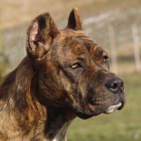Алано описание породы, фото, характеристика, клички для собак, цена щенков, гипоаллергенный: нет
