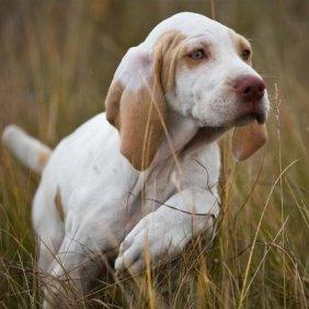 Арьежский бракк описание породы, фото, характеристика, клички для собак, цена щенков, гипоаллергенный: нет