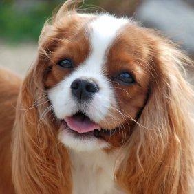 Кинг чарльз спаниель описание породы, фото, характеристика, клички для собак, цена щенков, гипоаллергенный: нет