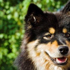 Финский лаппхунд описание породы, фото, характеристика, клички для собак, цена щенков, гипоаллергенный: нет