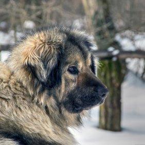 Шарпланинац описание породы, фото, характеристика, клички для собак, цена щенков, гипоаллергенный: нет