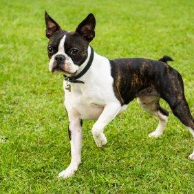 Бостон-терьер описание породы, фото, характеристика, клички для собак, цена щенков, гипоаллергенный: нет