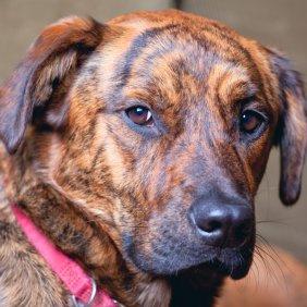 Плотт-хаунд описание породы, фото, характеристика, клички для собак, цена щенков, гипоаллергенный: нет