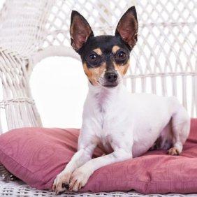 Той фокстерьер описание породы, фото, характеристика, клички для собак, цена щенков, гипоаллергенный: нет