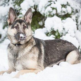 Шилонская овчарка описание породы, фото, характеристика, клички для собак, цена щенков, гипоаллергенный: нет