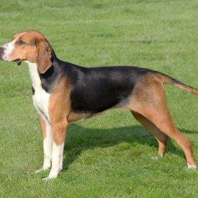 Гончая гамильтона описание породы, фото, характеристика, клички для собак, цена щенков, гипоаллергенный: нет