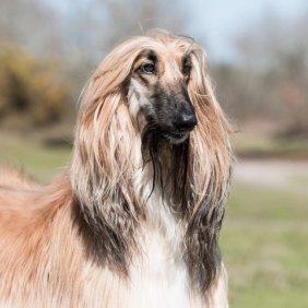 Афганская борзая описание породы, фото, характеристика, клички для собак, цена щенков, гипоаллергенный: да