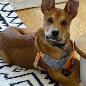 Каролинская собака описание породы, фото, характеристика, клички для собак, цена щенков, гипоаллергенный: нет