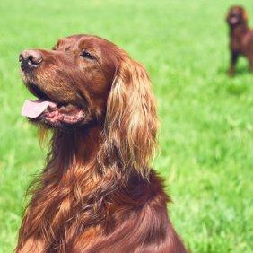Ирландский сеттер описание породы, фото, характеристика, клички для собак, цена щенков, гипоаллергенный: нет