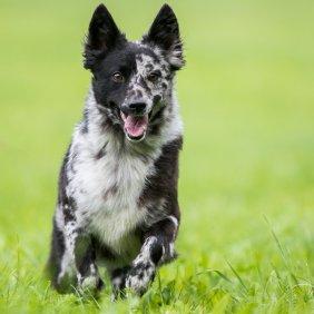 Муди описание породы, фото, характеристика, клички для собак, цена щенков, гипоаллергенный: нет