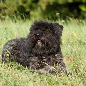 Фландрский бувье описание породы, фото, характеристика, клички для собак, цена щенков, гипоаллергенный: да