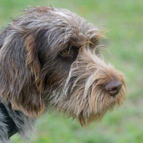 Чешский фоусек описание породы, фото, характеристика, клички для собак, цена щенков, гипоаллергенный: нет