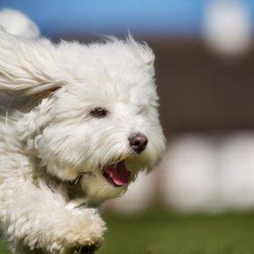 Котон де Тулеар описание породы, фото, характеристика, клички для собак, цена щенков, гипоаллергенный: да