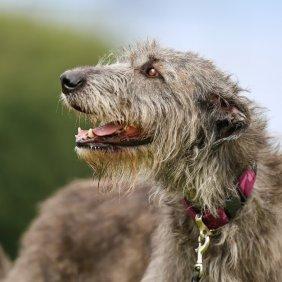 Ирландский волкодав описание породы, фото, характеристика, клички для собак, цена щенков, гипоаллергенный: нет