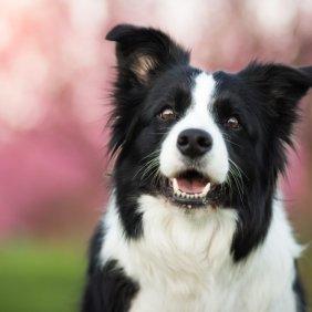 Бордер-колли описание породы, фото, характеристика, клички для собак, цена щенков, гипоаллергенный: нет