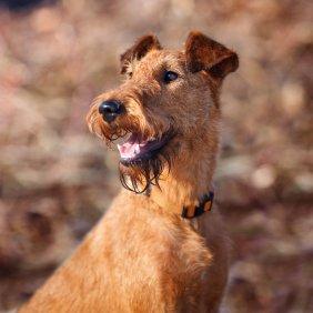 Ирландский терьер описание породы, фото, характеристика, клички для собак, цена щенков, гипоаллергенный: да