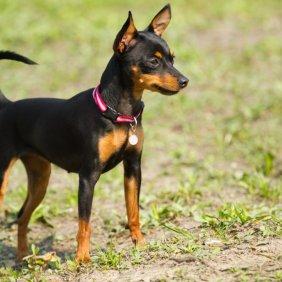 Пражский крысарик описание породы, фото, характеристика, клички для собак, цена щенков, гипоаллергенный: нет
