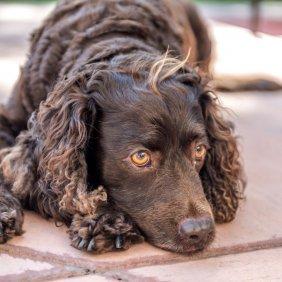 Американский водяной спаниель описание породы, фото, характеристика, клички для собак, цена щенков, гипоаллергенный: нет